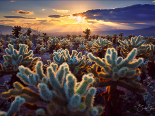 Cholla Garden, Joshua Tree National Park, California