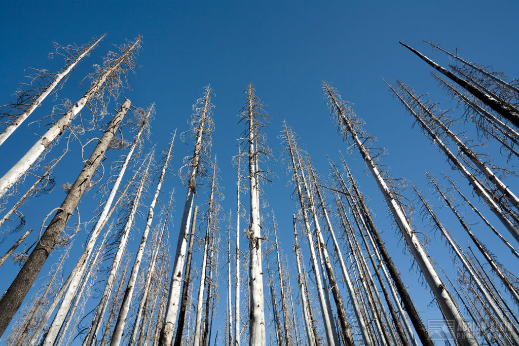 """Skewers"" - These burnt out trees in a Central Oregon forest balanced out well for this composition. Not to mention the slender pointy shape they have taken on makes them look like skewers"
